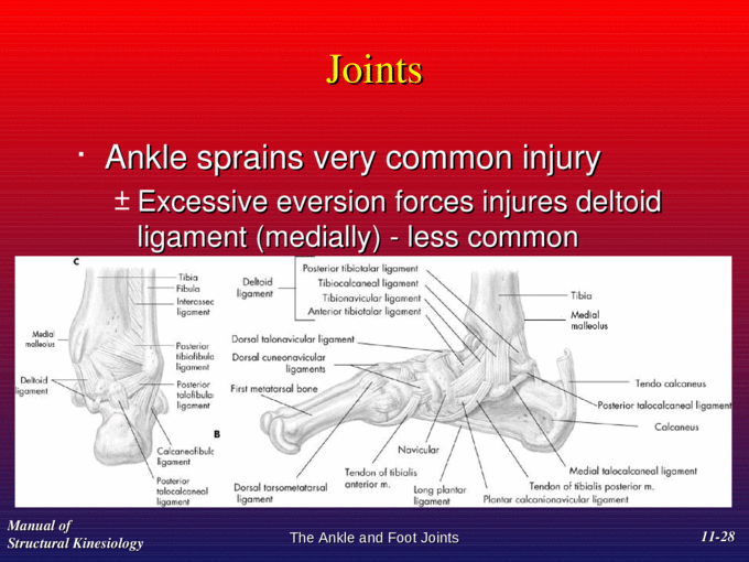 Pictures Of Ankle Joint Ligaments Manual Guide